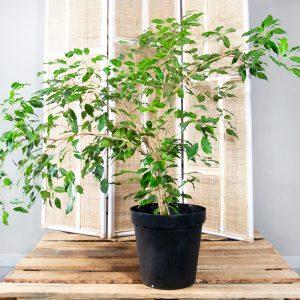 Ficus benjamina – Weeping Fig 30cm