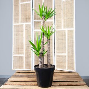 Spineless Yucca 30cm