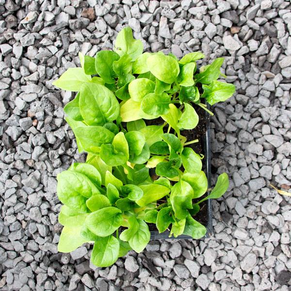 6009526700054 - Spinach viroflay