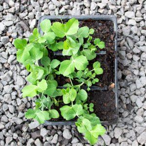 Snap Peas – Pisum sativum var. saccharatum  4/6 cavity trays