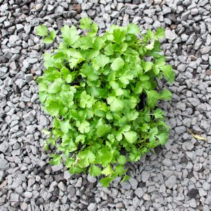 Coriander –  Coriandrum sativum 4/6 cavity trays