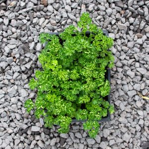 Moss Curled Leaf Parsley – Petroselinum crispum  4/6 cavity trays