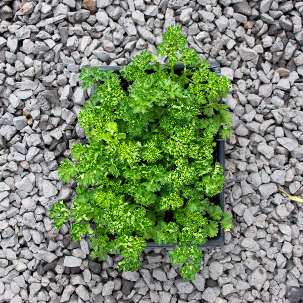 6009526700054 - Parsley - moss curled