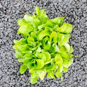 Lettuce butterhead –  Lactuca sativa 4/6 cavity trays