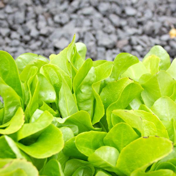 lettuce-butterhead