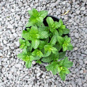 Garden mint – Mentrha spicata spec. 17 cm pot