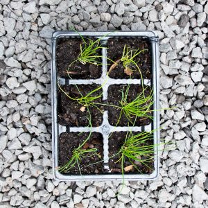 Onion Chives – Allium schoenoprasum 4/6 cavity trays