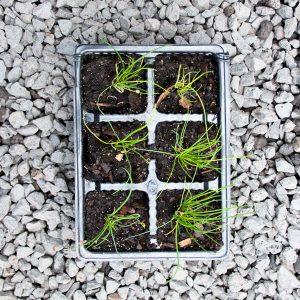 Onion Chives – Allium schoenoprasum 4/6 cavity trays