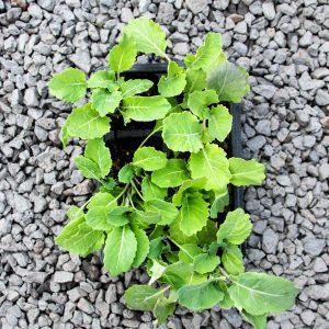 Kale Chou Moullier  – Brassica oleracea acephala 4/6 cavity trays