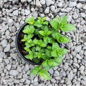 Garden mint – Menthe spicata spec.  12cm pot