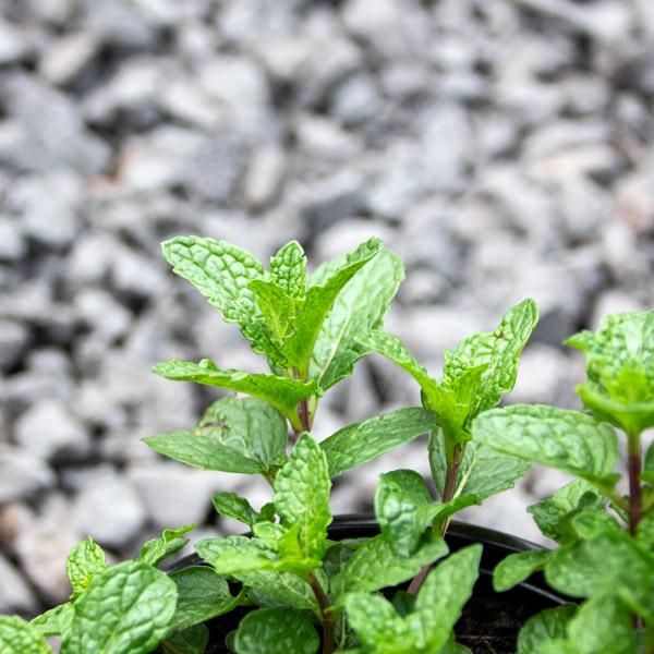 Garden mint - Menthe spicata spec.2