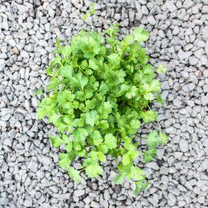 Coriander -coriandrum savitum 12cm pot