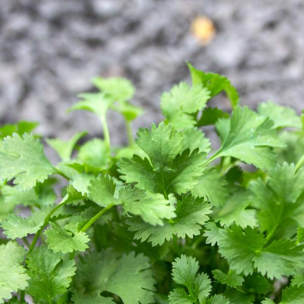 Coriander -coriandrum savitum 2