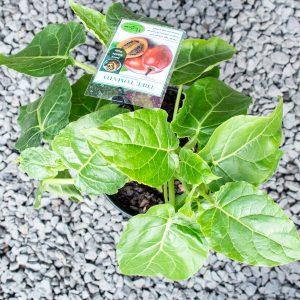 Tree tomato -Melalauca alternifolia Cyphomandra betacea 17cm pot
