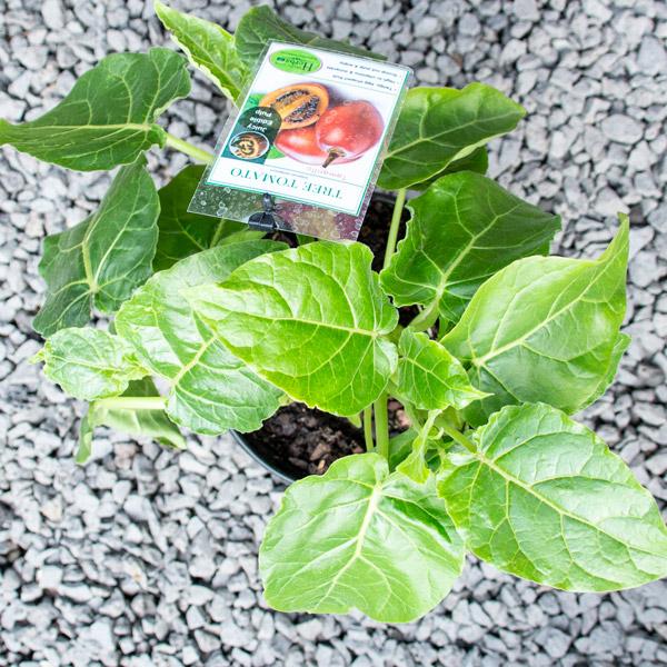 70061925 - Tree tomato - Tamarillo