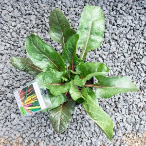 Spinach  – Beta vulgaris 'Bright lights'  17cm pot