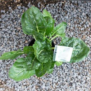 Swiss Chard – Beta vulgaris  17cm pot