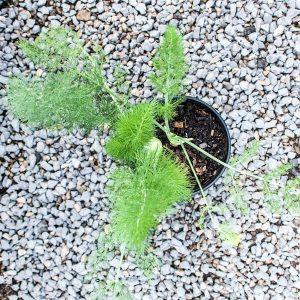 Fennel -Foeniculum vulgare 17cm pot