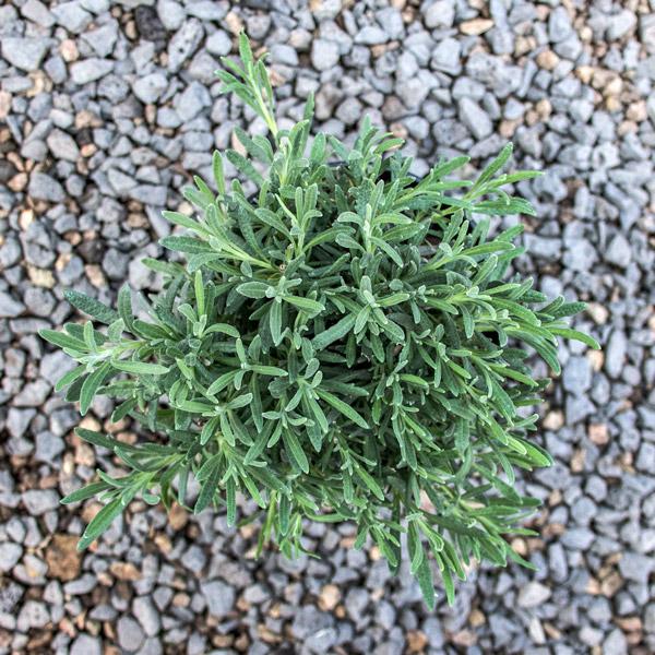 Fragrant lavender Intermediate Robert Margret