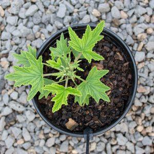Citronella Pelargonium – Pelargonium citronellum  17cm pot