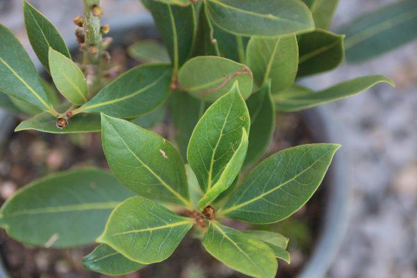 70040321 - bay leaf