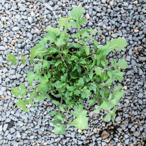 Rocket -Eruca vesicaria ssp. sativa  17cm pot