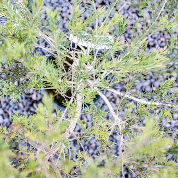 70014861 - Tea Tree - Melaleuca alternifoli