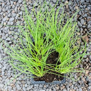 Australian Brown Onion – Allium cepa 4/6 cavity trays