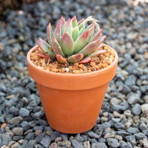Ngena succulent