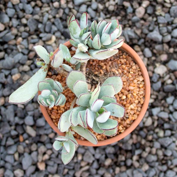 Ngena succulent 3