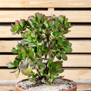 Succulent Bowl 21cm pot