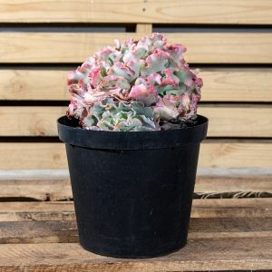Stone Roses – Echeveria Species  25cm pot