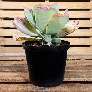 Stone Roses – Echeveria Species  25cm pot