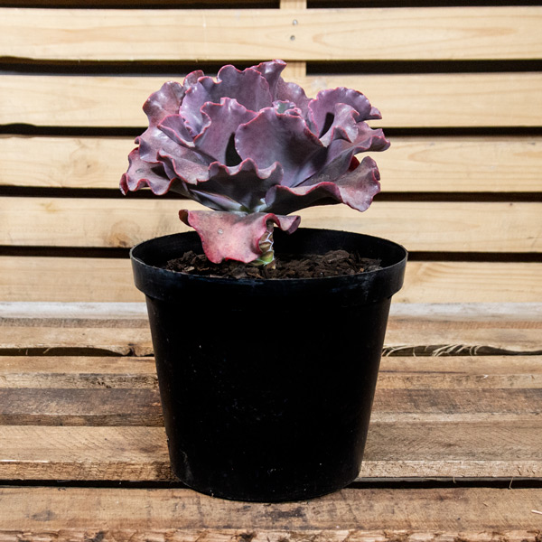 Stone Roses - Echeveria Species 6