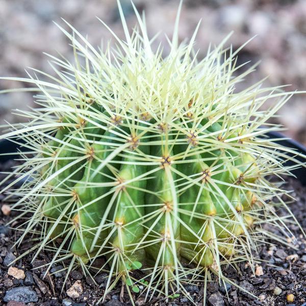 Cactus Variety 3
