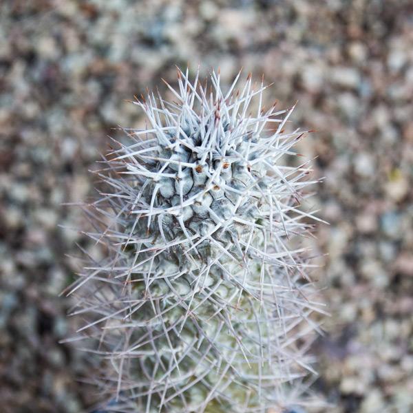Halfmens - Pachypodium Lamerii 3