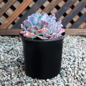 Echeveria Hybrid 17cm pot
