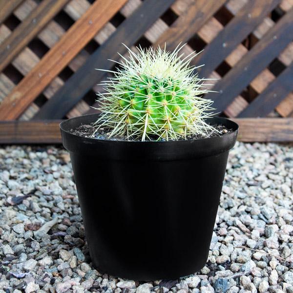 10003700 - Cactus Variety