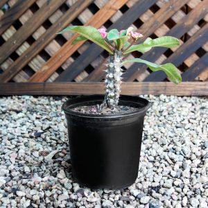 Euphorbia 18cm pot