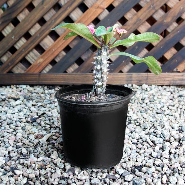 80006083 - Euphorbia
