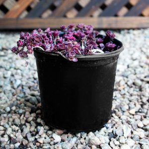 Stonecrop – Sedum Dragons Blood 15cm pot