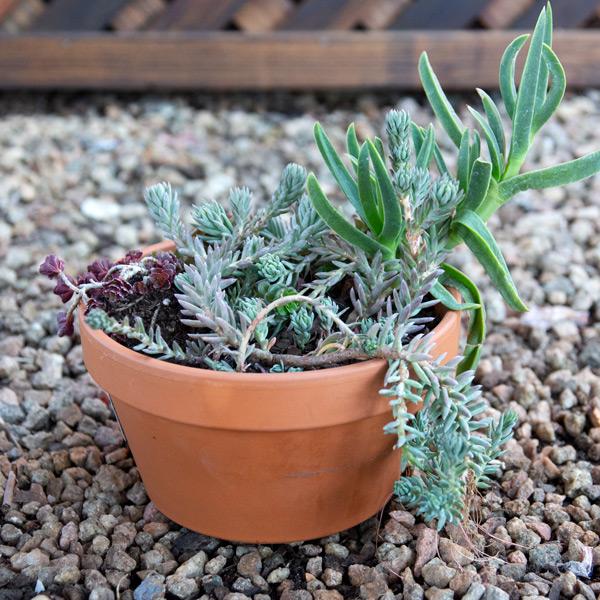 70059512 - Succulent Bowl