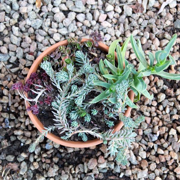 Succulent Bowl 2