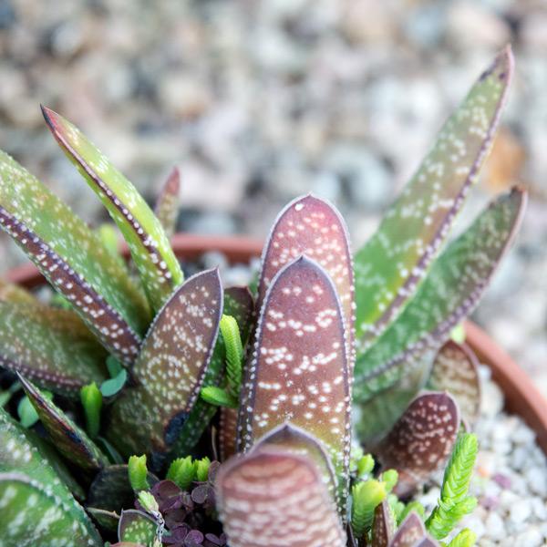 Succulent Bowl 4
