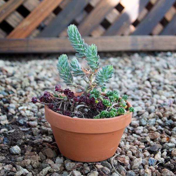 70059513 - Succulent Bowl