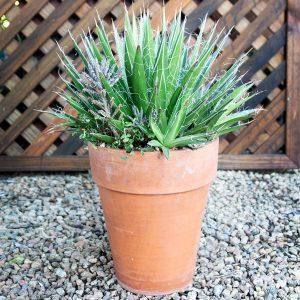 Ngena succulent 17cm pot