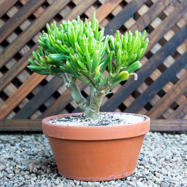 70059514 - Succulent Bowl