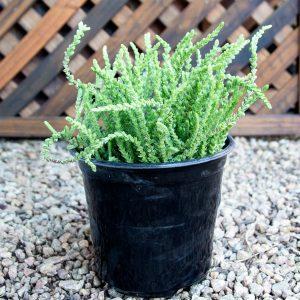 Rattail Crassula – Crassula Rastafarii 15cm pot