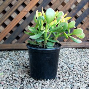 Red Edge – Crassula Ovata 15cm pot