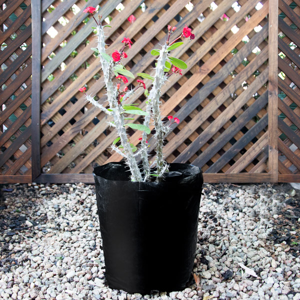 70039611 - Crown of thorns - Euphorbia Milii red